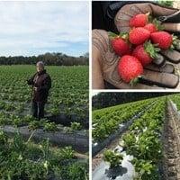 Strawberry Farm Tour with the Florida Strawberry Growers Association