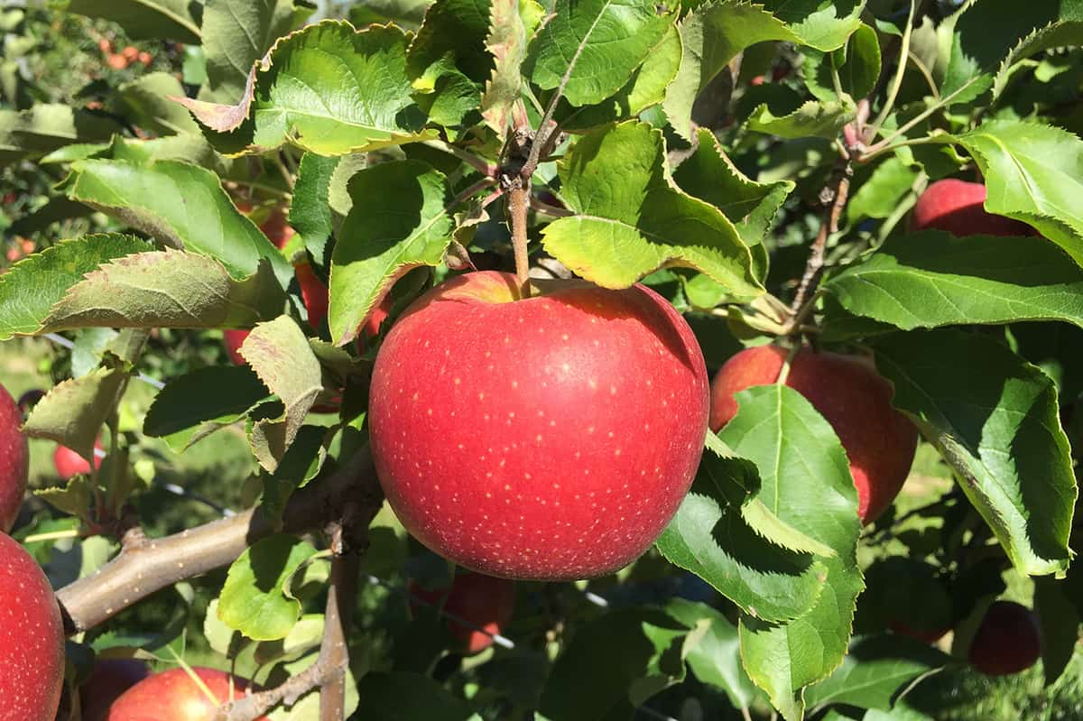 What are the types of apples