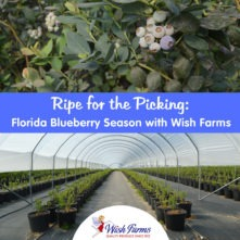 Ripe for the Picking: Florida Blueberry Season with Wish Farms