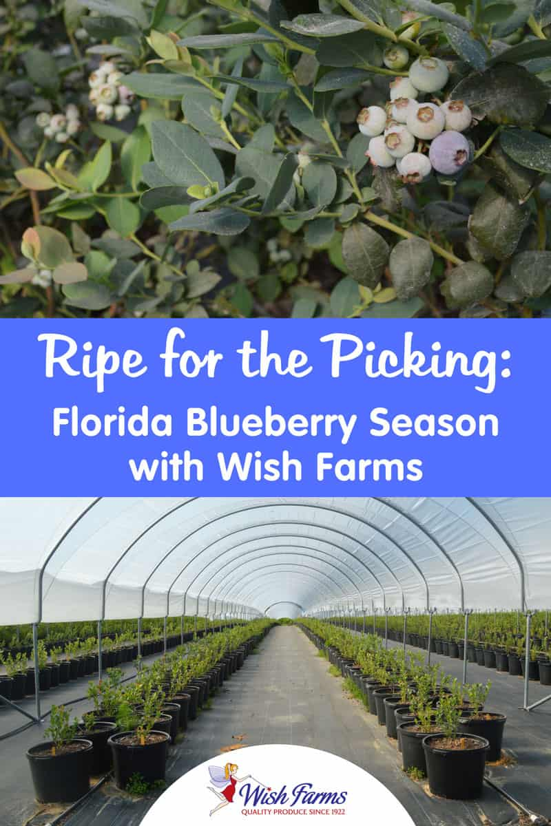 Ripe for the Picking: Florida Blueberry Season with Wish