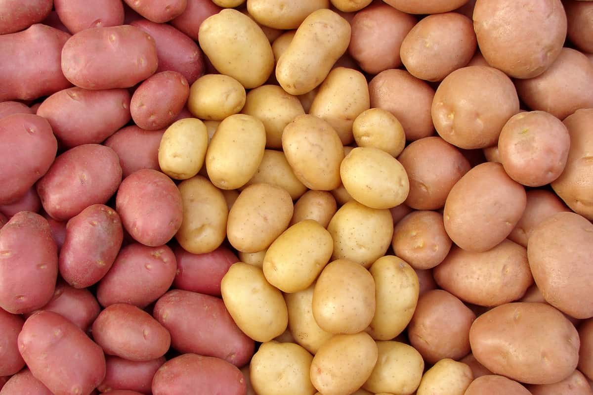 rows of red, gold and russet potatoes