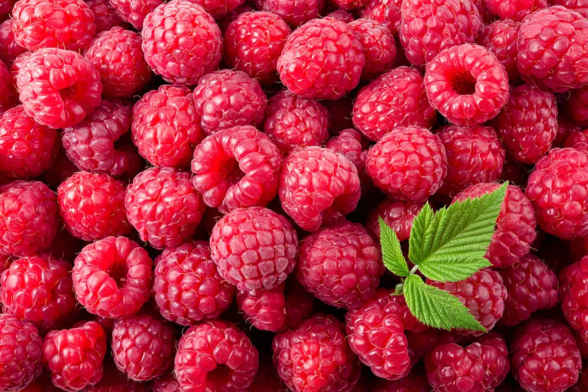 lots of raspberries with a mint leaf