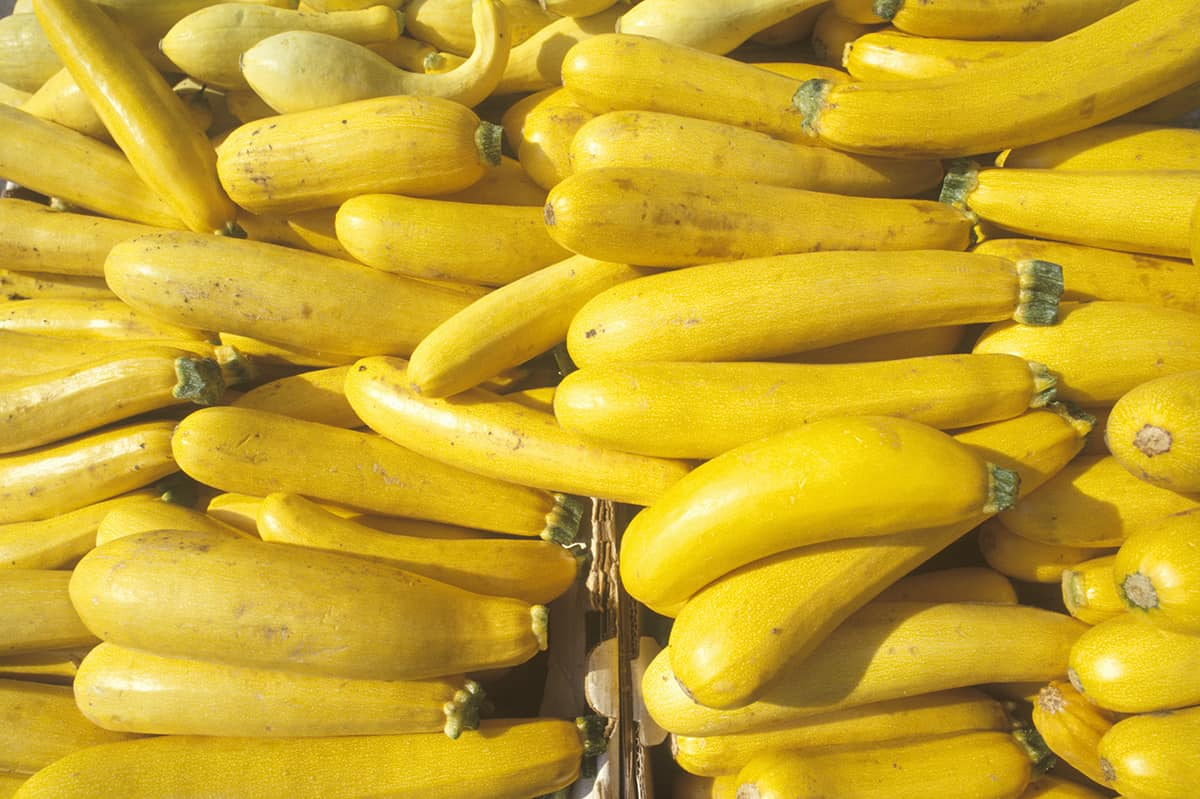 rows of yellow summer squash