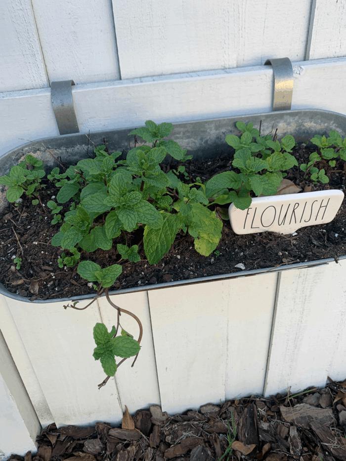 Mint growing in pot.
