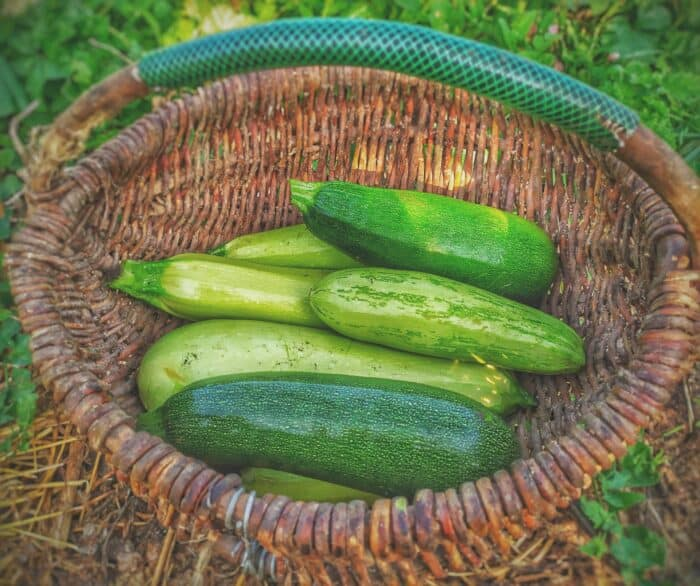 A Basket of fresh zucchini